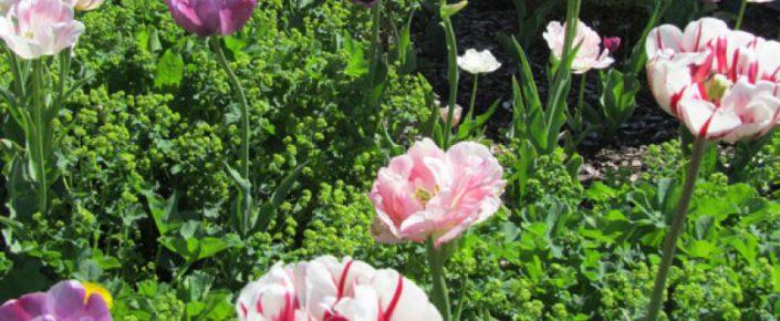 Sonnenalm Blüten