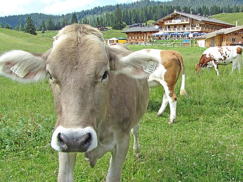 Urlaub mit Kindern - Kühe auf der Sonnenalm